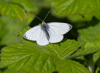 male Green-Veined White 'Pieris napi' 13.04.2014
