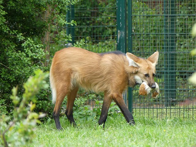 Mähnenwolf, Zoo Frankfurt