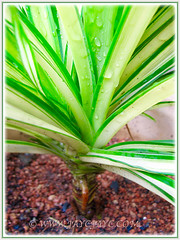 Pandanus veitchii 'Variegata' (Variegated Dwarf Pandanus, Variegated Screw Pine, Variegated Veitch's Screw Pine) with stilt roots as it matures, May 8 2016