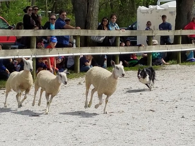 Sheepdog Demo at MD Sheep & Wool Festival