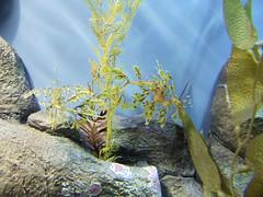 Leafy Sea Dragon, Monterey Bay Aquarium, Monterey, California, USA