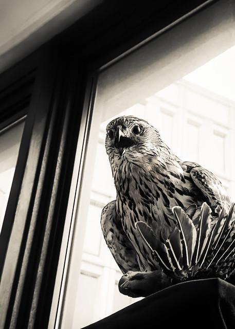 Hawk(ward)