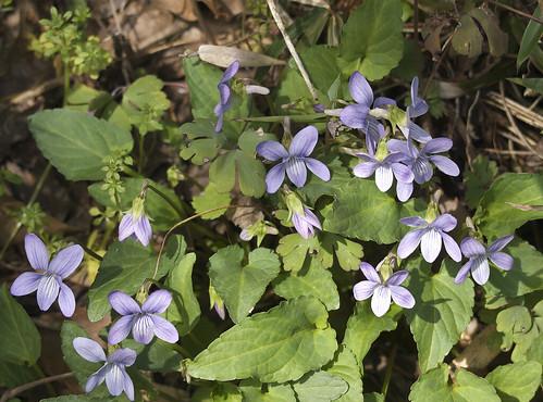 viola-japonica01