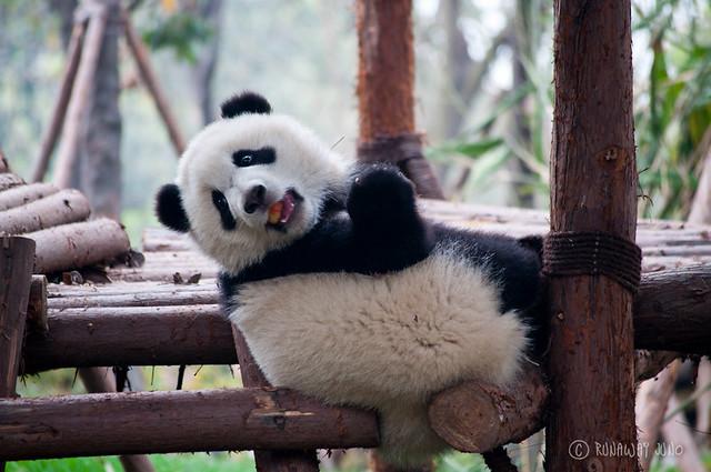 Panda_Kindergarten_Apple_Chengdu_Sichuan_China