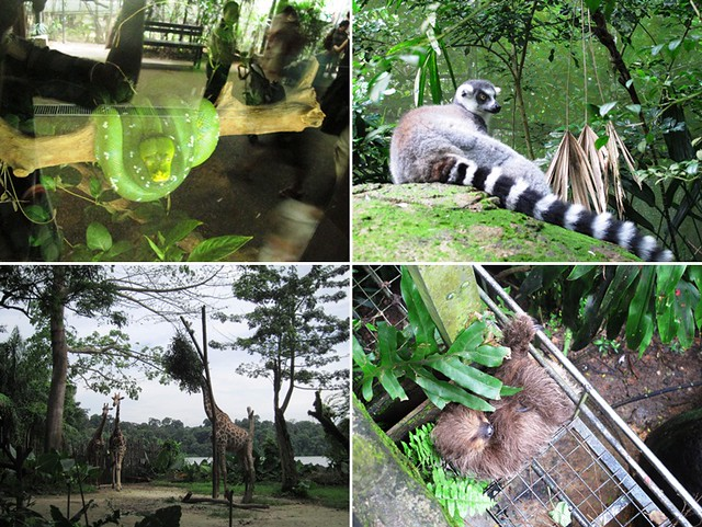 singapore zoo snake lemur giraffe sloth