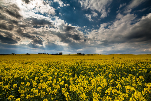 Rapeseed field 2 by D3RON