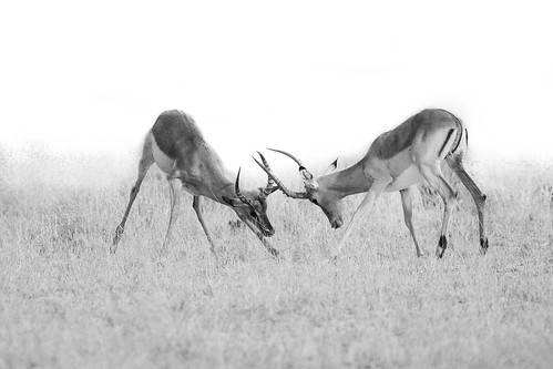 Impala males fight it out...