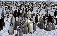 人造衛星影像顯示哈雷灣(Halley Bay)部分的帝王企鵝群聚。 (英國南極考察隊提供)