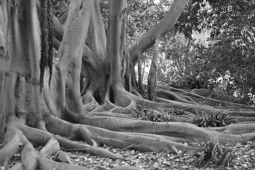 Morton Bay Fig Trees by olmjohns