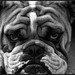 Barrington the English Bulldog---------------(Explore 4/27/12) by benchorizo