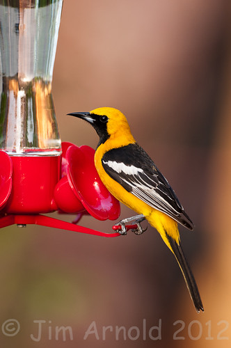 Male Hooded Oriole by Jim Arnold (jga154)