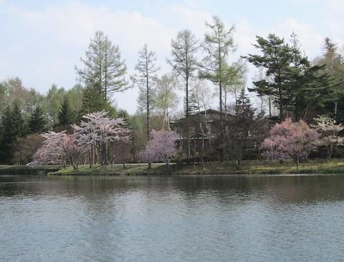 蓼科湖畔の桜 2012年5月7日15:10 by Poran111