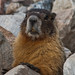 Small photo of Marmot