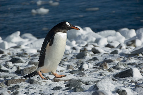 Gentoo Penguin by Veerle L
