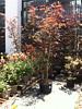 Japanese Myrtle Tree