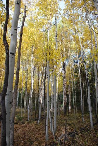 autumn trees tree nature leaves leaf colorado colorful aspen