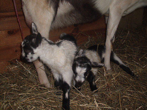 goat babies 083 by linger.kathy