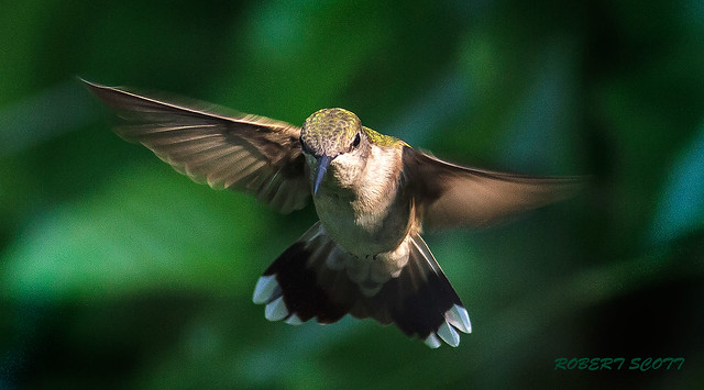 Adult Female Ruby-throated Hummingbird .  #4