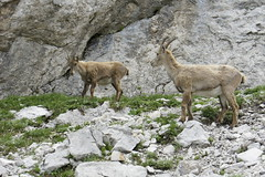 sheeps(0.0), sheep(0.0), argali(0.0), herd(0.0), animal(1.0), mammal(1.0), barbary sheep(1.0), goats(1.0), domestic goat(1.0), fauna(1.0), mountain goat(1.0), chamois(1.0), wildlife(1.0),