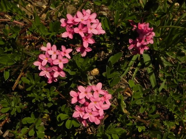 Daphne cneorum=Daphné camélée