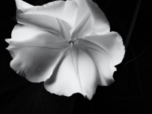 Moonlit Moonflower