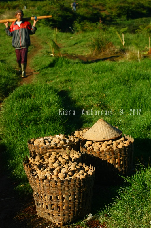 Potatoes at Dieng Plateau
