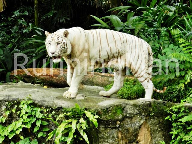 Singapore Zoo 03