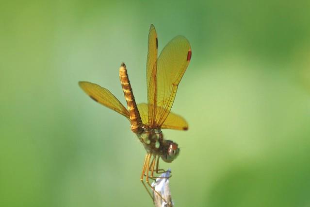 Eastern Amberwing male