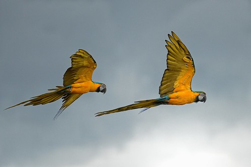 Blue and Yellow Macaw in flight by Rivertay (more off than on)