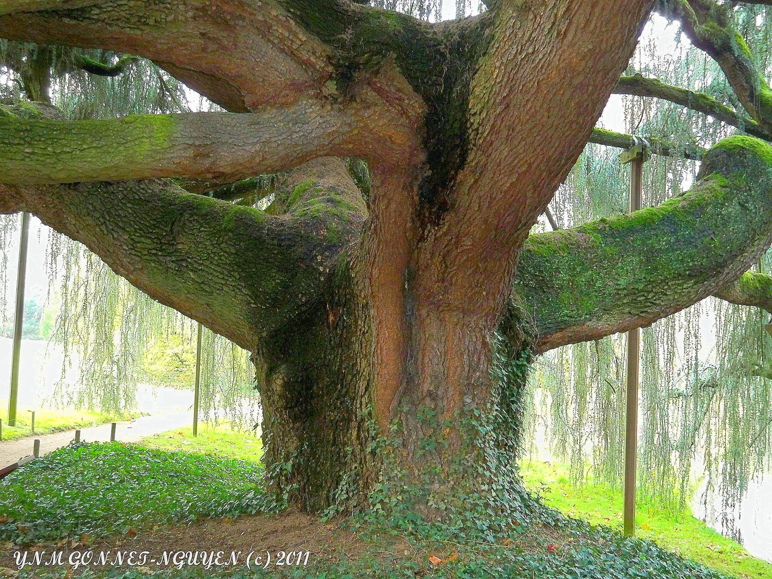 1 cedre bleu pleureur du liban arboretum de la vall e aux loups arbre v n rable remarquable - Cedre bleu du liban ...