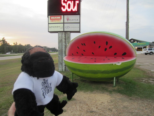 The One and Only Ivan Visits a GIANT WATERMELON