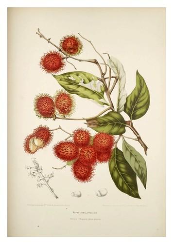 007-Rambutan arbol tropical nativo de Malasia-Fleurs, fruits et feuillages choisis de l'ille de Java-1880- Berthe Hoola van Nooten