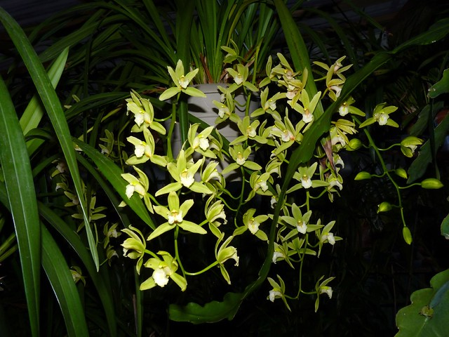 Cymbidium Orchid Conference 'Tamiko' hybrid orchid