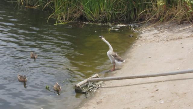 MVI_8727 Lake Los Carneros geese honking