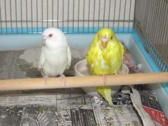 animal, lovebird, pet, fauna, parakeet, common pet parakeet, beak, bird,