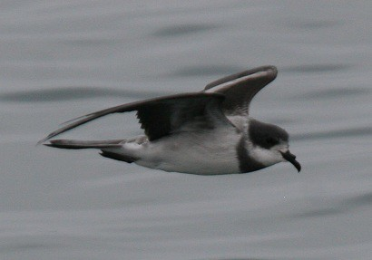 Ringed (Hornby's)storm petrel Pelagic birding with Nature Expeditions in Peru