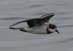 Ringed (Hornby's) storm petrel - Pelagic birding with Nature Expeditions in Peru