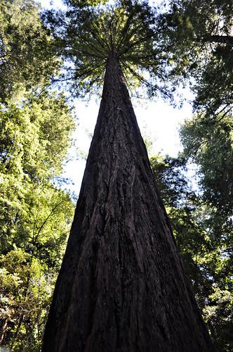Giant Redwood perspective copy