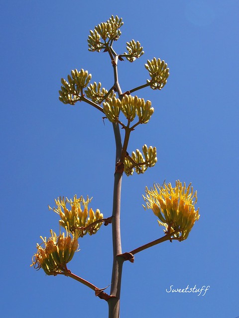 Agave colorata hybrid bloom