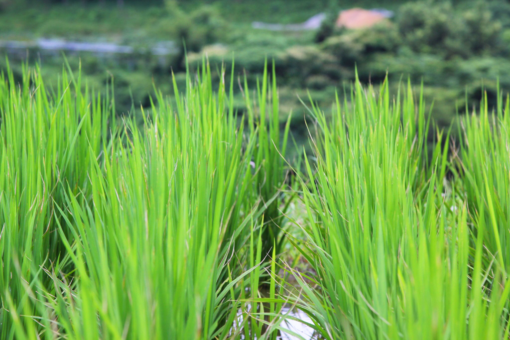 paddy field fish culture also named Get the latest news, exclusives, sport, celebrities, showbiz, politics, business and lifestyle from the sun.