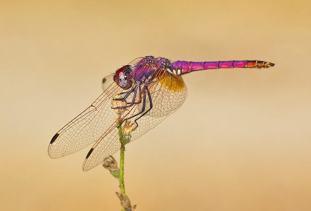 Red Dragonfly. Side view