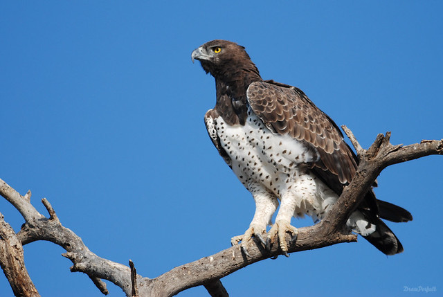 The African Hawk-Eagle. Masai Mara, Kenya | Flickr - Photo ...