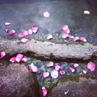 roses (instragram)