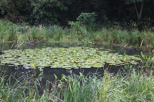 Lilies on Eaglesfield Pond