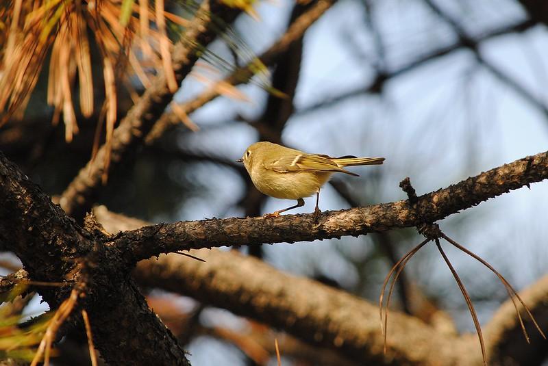 Pine Warbler (Сосновый лесной певун)