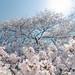 Sakura Big One by lestaylorphoto