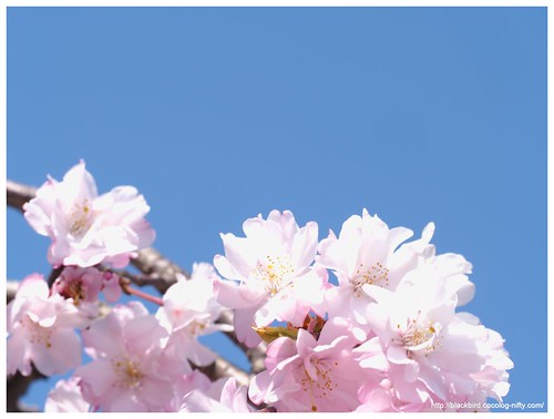 Cherry blossoms & blue sky #03