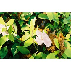 ฉันสวยเพราะแสง(แดด) ดอกไม้กล่าว ~  Pentax k1000 Lucky 200  #nameefilm