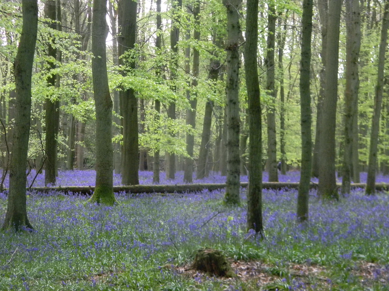 More bluebells Tring to Berkhamsted