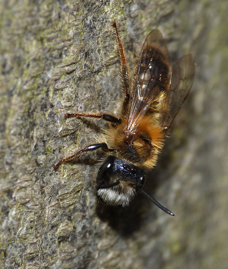 bee sp Hatfield Forest 14Apr16